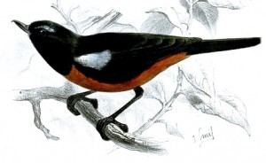 Painting of a Merida Flowerpecker by Joseph Smit - Proceedings of the Zoological Society of London (vol. 1870, plate XLVI)